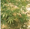 plant with brown spots.jpg